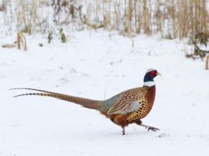 E8C6B4 A pheasant running across snow in North Yorkshire